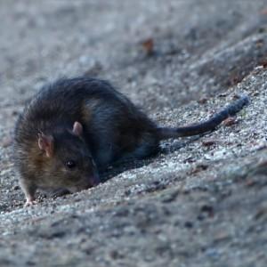 Control rat pests