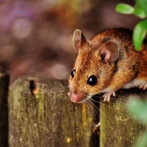 Mouse Infestation AJ Pest Control