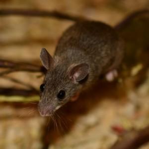 Control mice pests