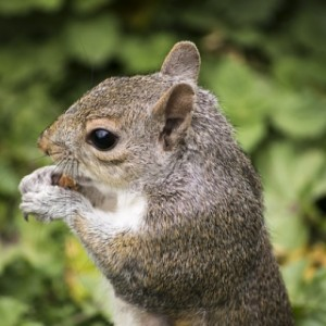 Control squirrel pests