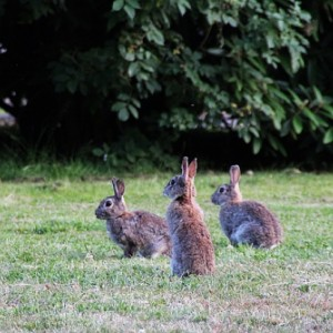 Control rabbit pests