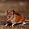 Mice Pest Control Cambridge